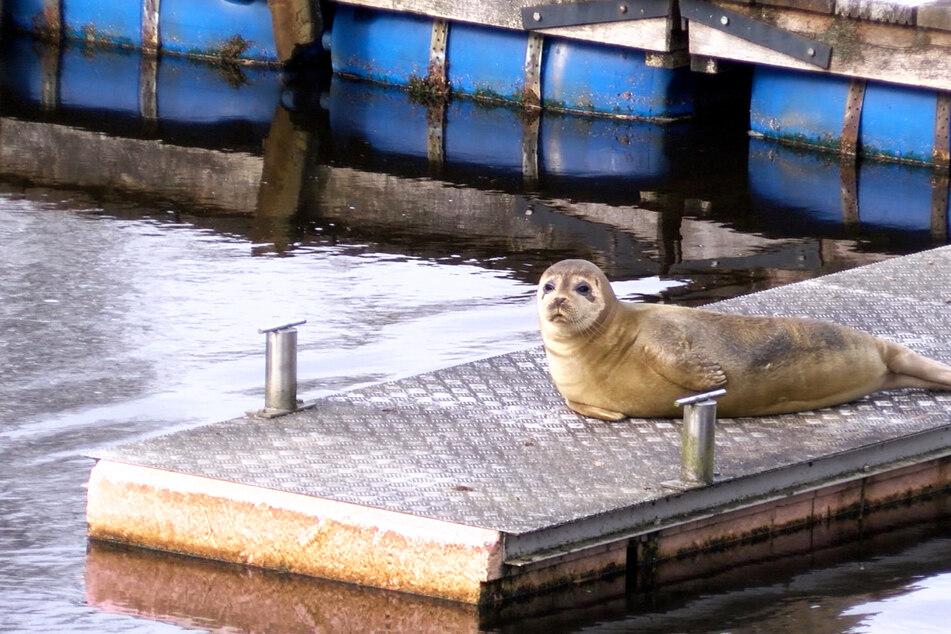 Weit entfernt vom Meer: Seehund fühlt sich seit Wochen im Hafen wohl!