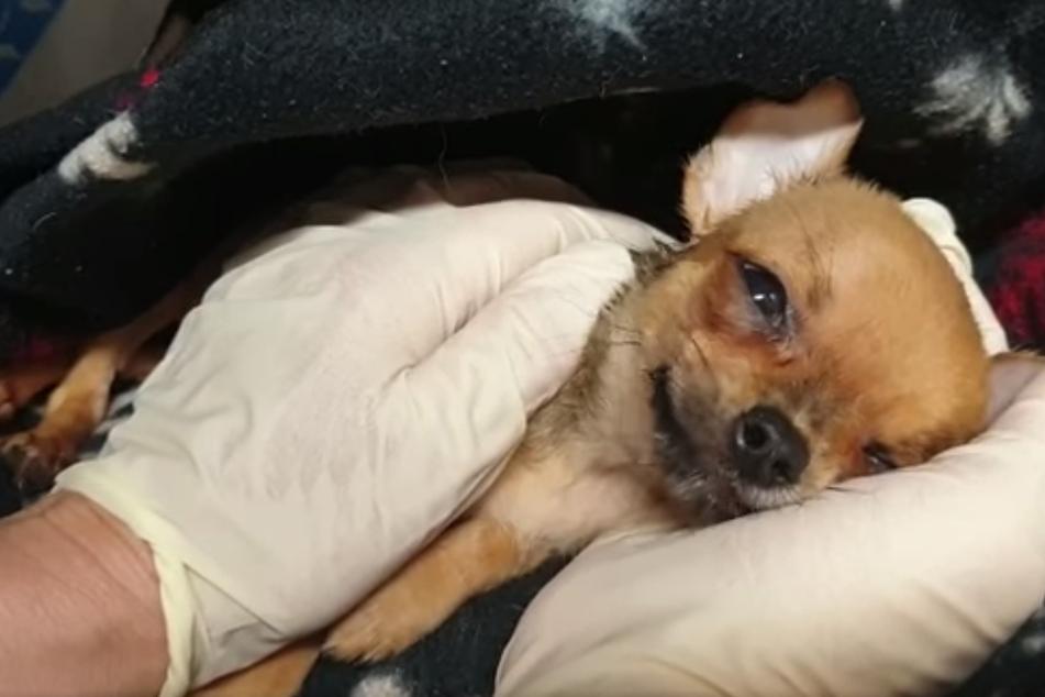 46 Chihuahuas kamen auf einen Schlag ins Tierheim Plauen.