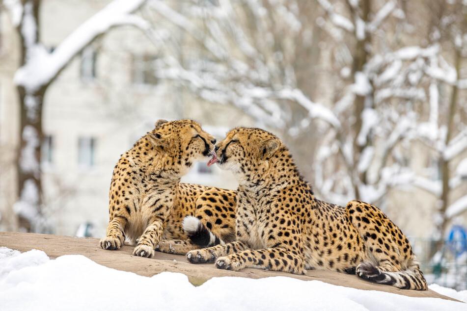 """Lungern auf dem """"heißen Stein"""": Die Geparden haben gut lachen - ihr Felsen ist beheizt."""
