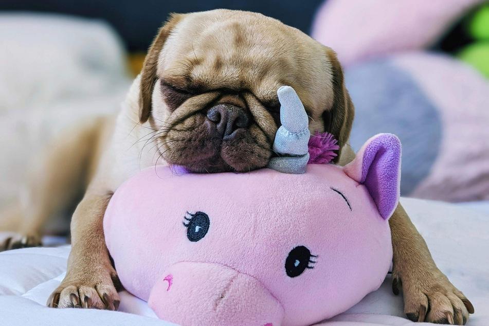 Bei der Auswahl von Kuscheltieren und Spielzeug ist darauf zu achten, dass die Füllung und das Material nicht schädlich für den Hund sind.