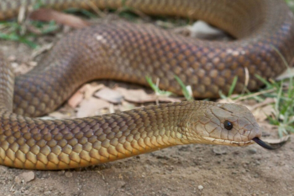 Doctors fight for girl's life after she was bitten by poisonous snake in her sleep
