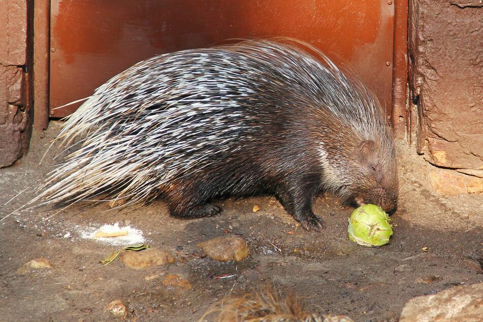 Das Stachelschwein ernährt sich vegetarisch und frisst gern Obst. (Symbolbild)