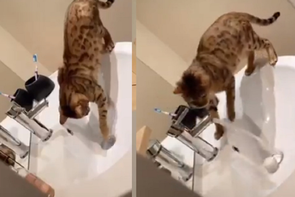 This cat figured out how to use the tap and plug the drain.