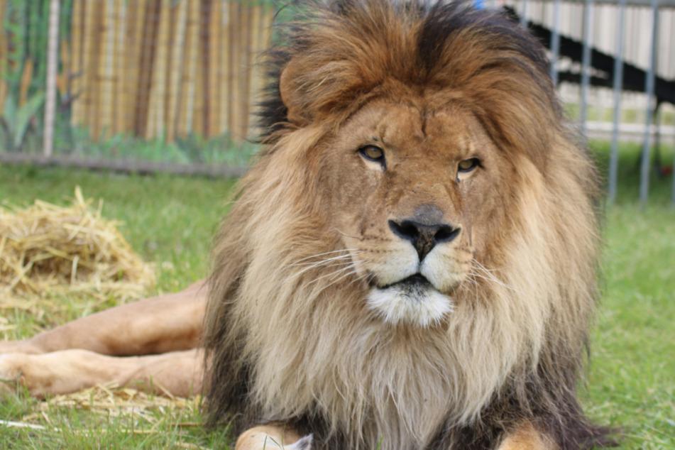 Circus Krone trauert um Star-Löwe: Kasanga für immer eingeschlafen