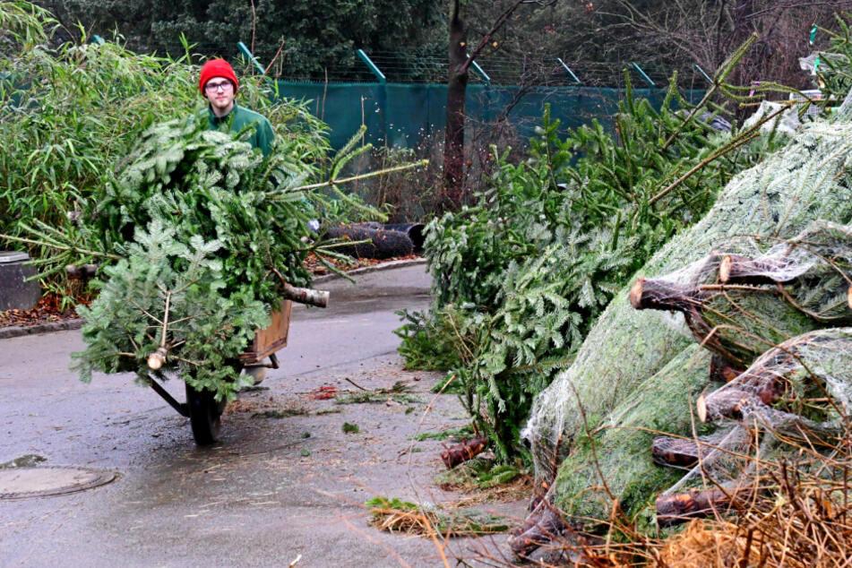 400 Weihnachtsbäume hortet der Zoo.