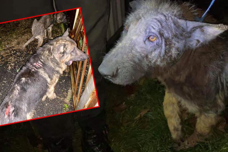 Sterbender Hund sieht aus wie halbtote Hyäne