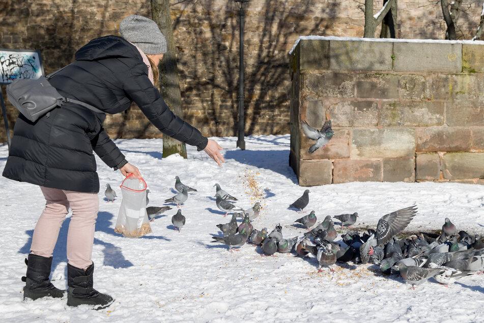 Claudia Schneider, Ehrenamtliches Mitglied des Tierschutzvereins für Stadttauben und Wildtiere, füttert in Nürnberg Tauben.