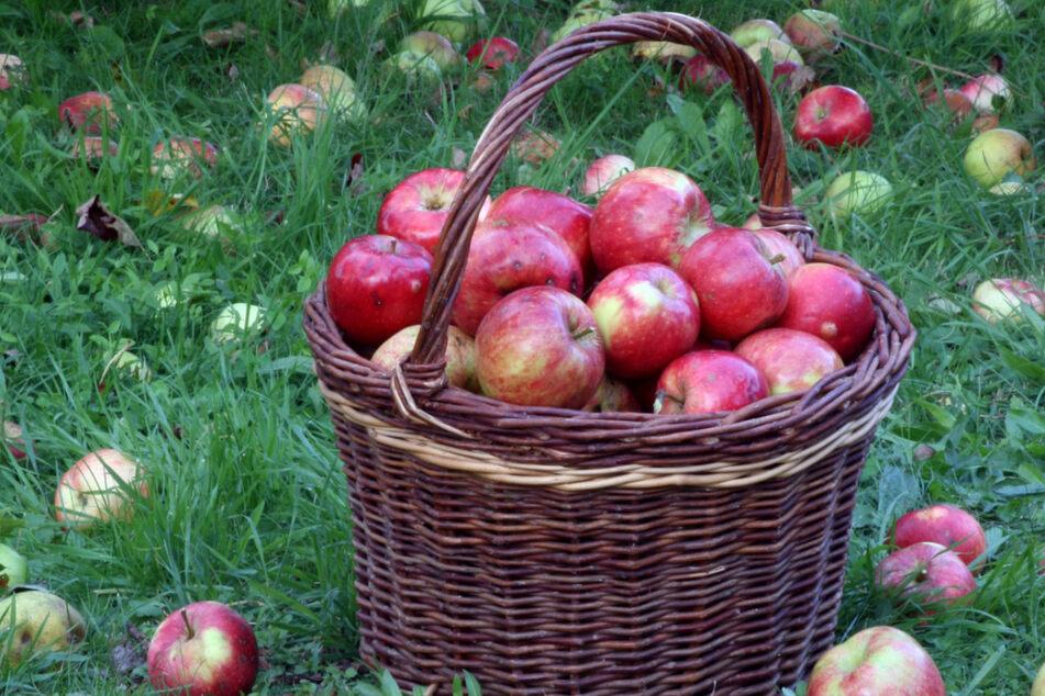 Tipps rund um Garten und Ernte bekommt Ihr Samstag in Dresden-Laubegast.