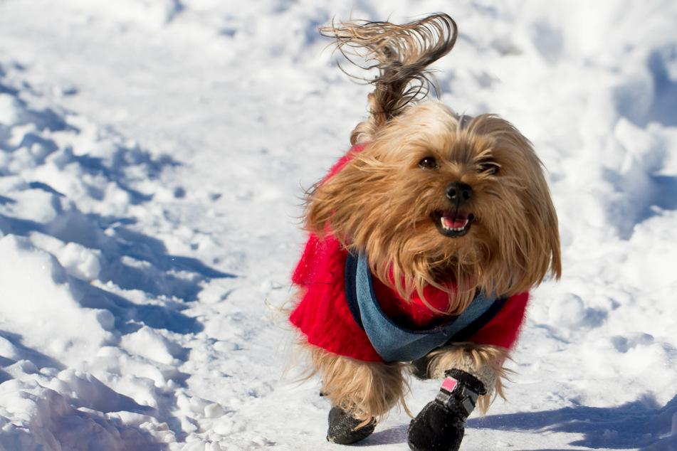 Diesem Wauwau kann Eis und Schnee nichts anhaben – dank des Pfotenschutzes.