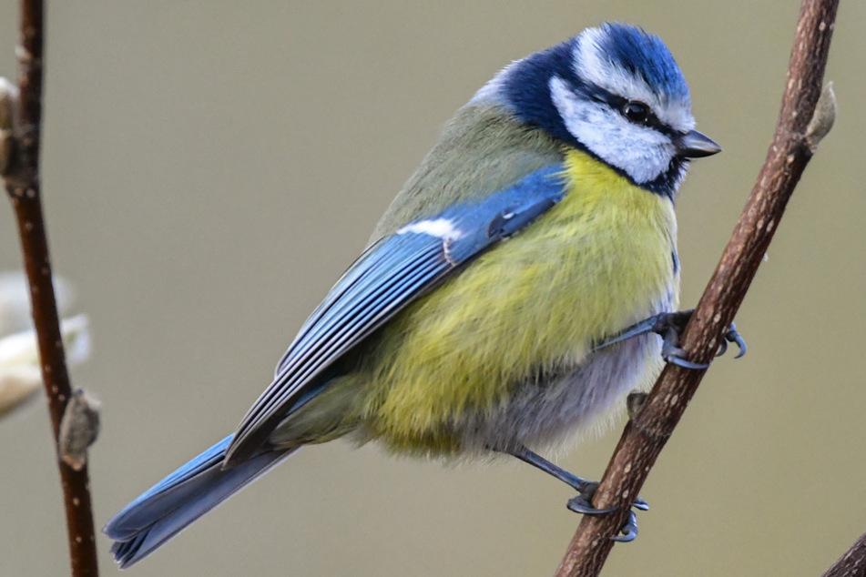 Landesbund schlägt Alarm: Unbekannte Vogelkrankheit tötet Blaumeisen