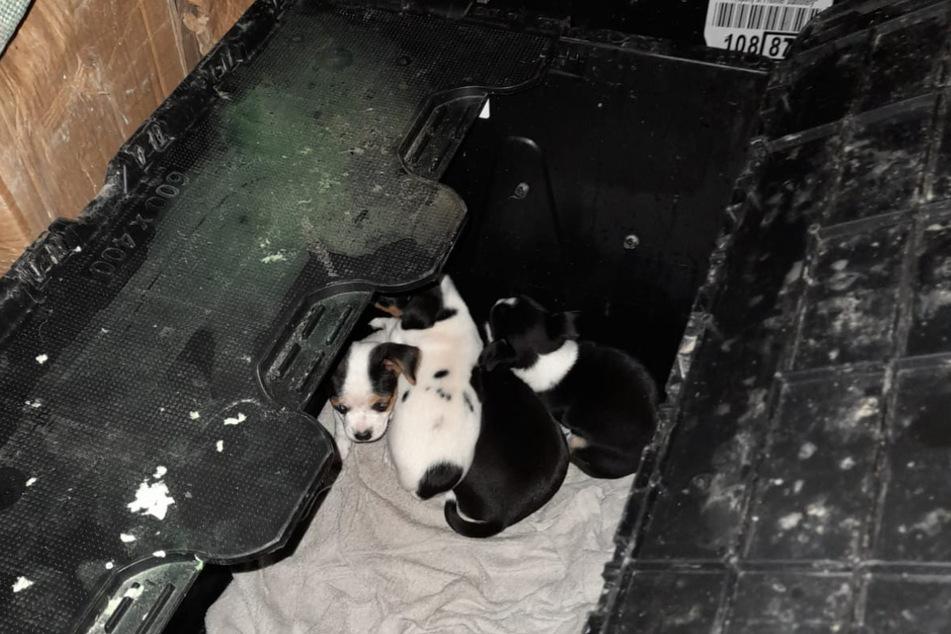 Die kleinen Jack Russell Terrier hatten lediglich eine Decke mit in der Box, Trinken, Fressen oder Licht gab es in der Kiste nicht.