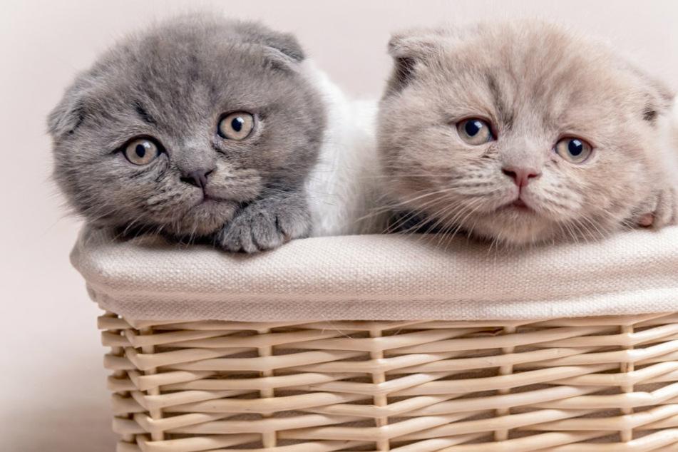 Miese Betrugsmasche mit Katzenbabys im Netz: Vierfach-Mutter verurteilt