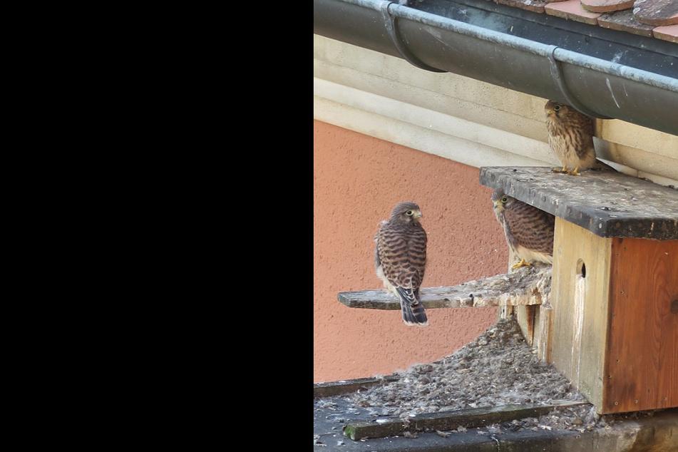 Das undatierte Bild zeigt Falken-Nachwuchs, der an einem Nistkasten der Coburger Polizei sitzt.