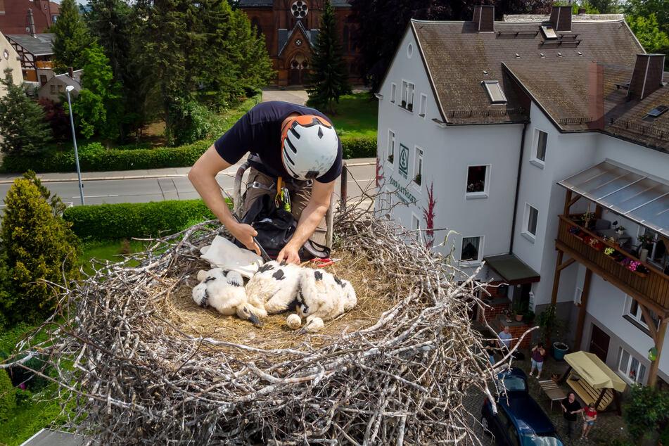 Seltener Einblick: Ornithologe Kai Schaarschmidt (46) beringt drei Storchenküken.