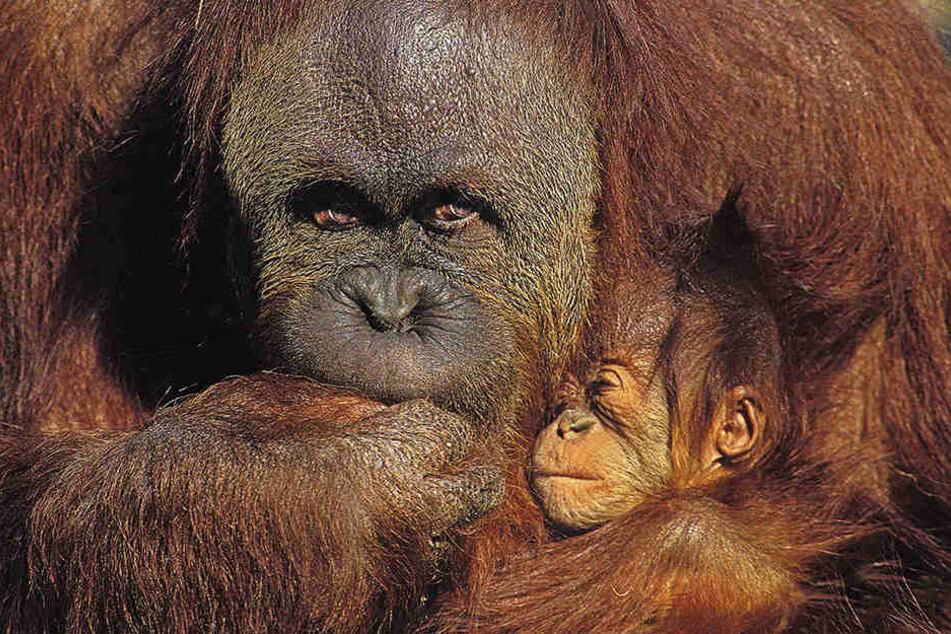 In Australien sind Affenmutter und Baby nach der Geburt gestorben. (Symbolbild)