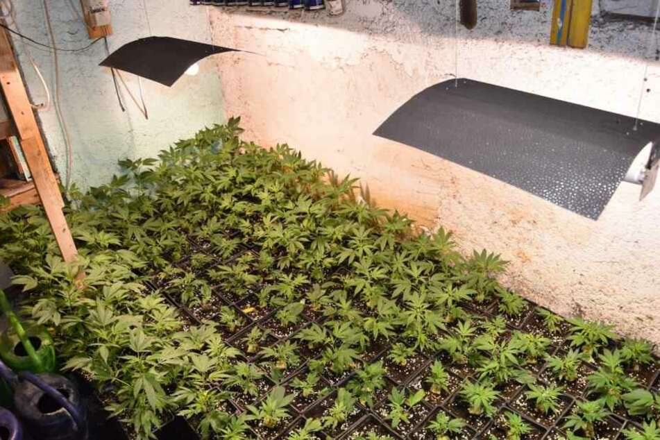 Cannabis-Plantage entdeckt: 30-Jähriger festgenommen