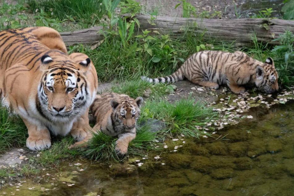 Da war sie noch ganz klein: Tigerdame Lenya (rechts) geht demnächst auf Reisen.