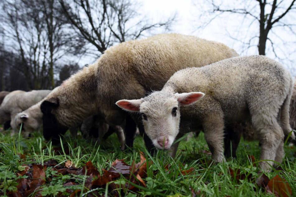 Ein Schaf und ein Lamm waren in der Nacht in Rheinfelden-Herten unterwegs. (Symbolbild)