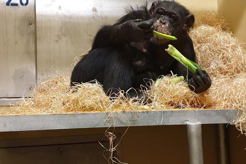 Schimpansen-Weibchen Bally liegt in einem Gehege des Krefelder Zoos im Stroh und isst Lauch.