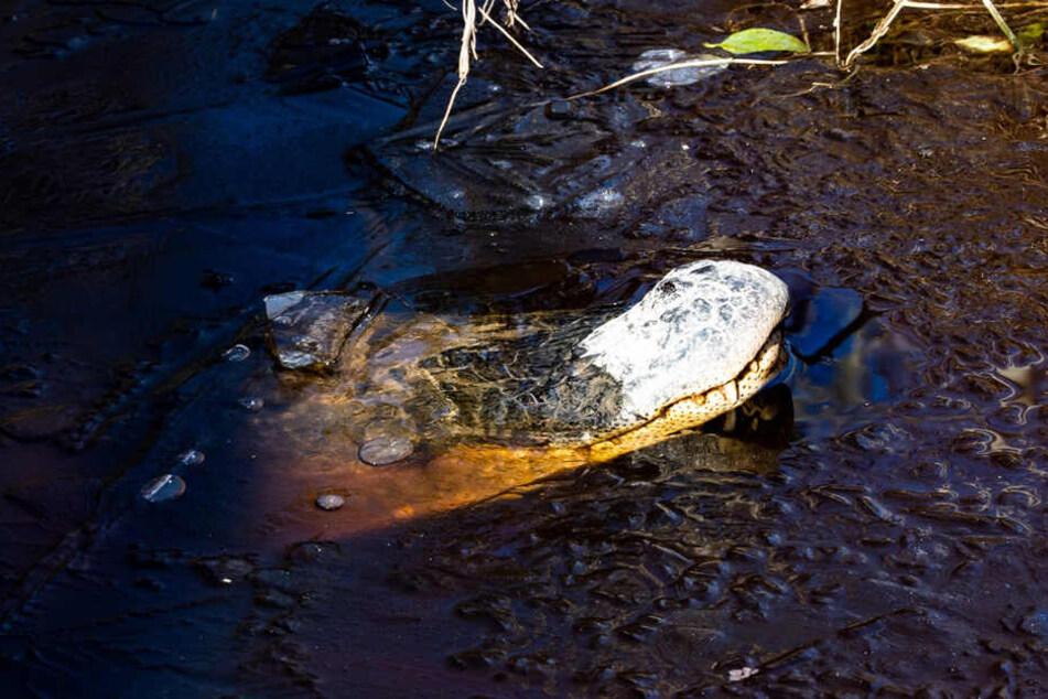 Der Alligator hat sich einfrieren lassen.