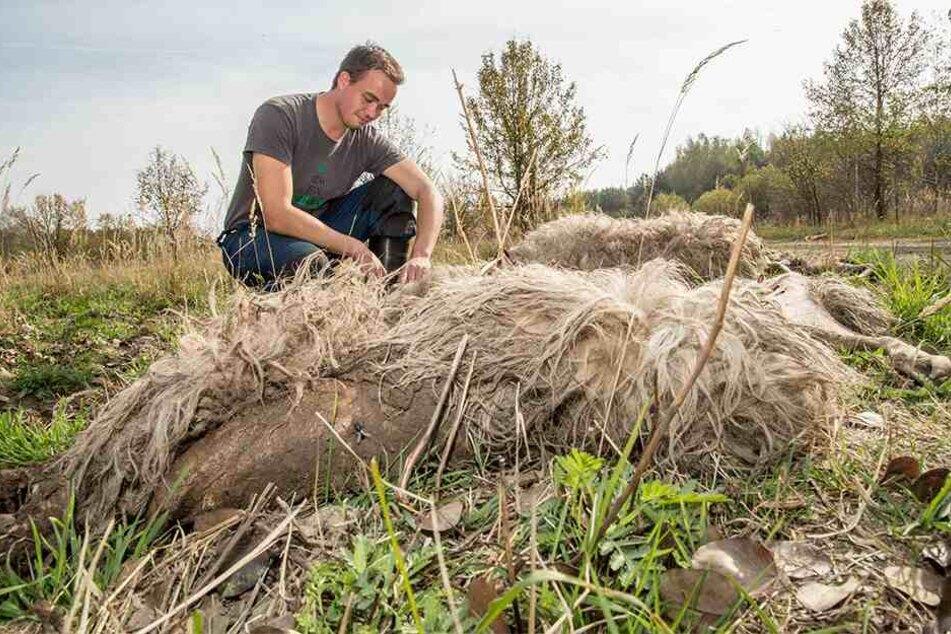 Schäfer Felix Wagner nach einem Wolfsangriff im Herbst 2018 in der Oberlausitz. Auch darum kümmert sich die neue Stelle.