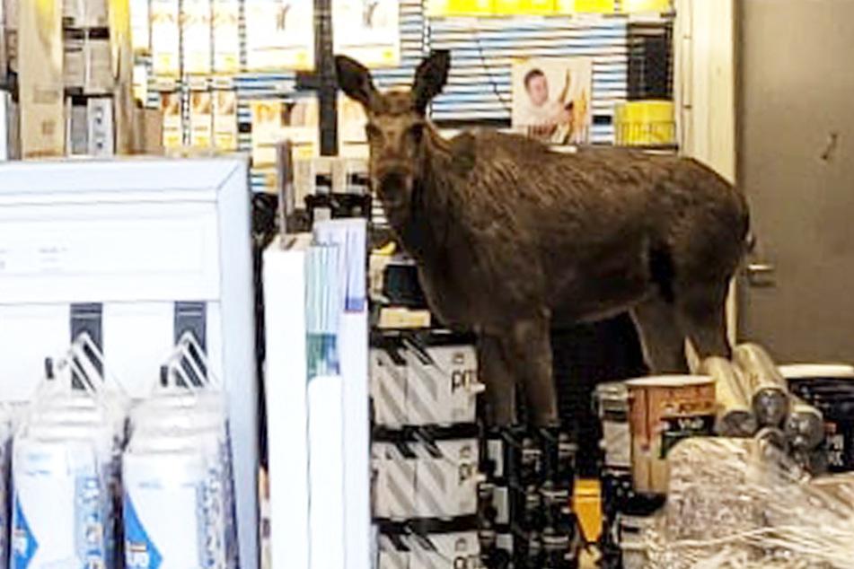 Elch geht in Laden und findet nicht mehr von allein heraus