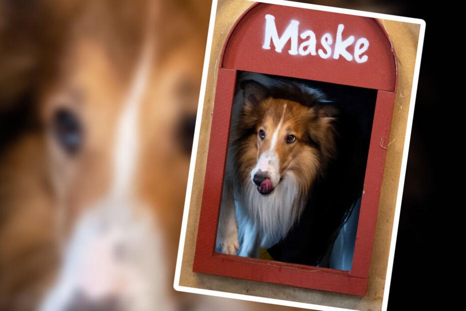 """Bandit ist der Star in """"Lassie - eine abenteuerliche Reise""""."""