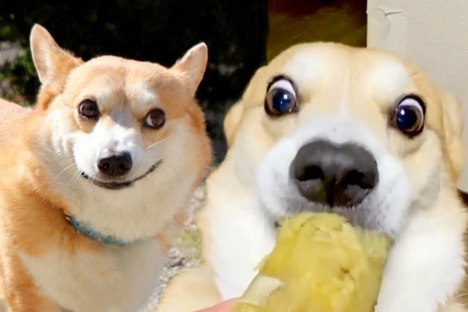 Vorsicht, Lachgefahr! Dieser Hund beeindruckt mit grandiosen Gesichtsausdrücken