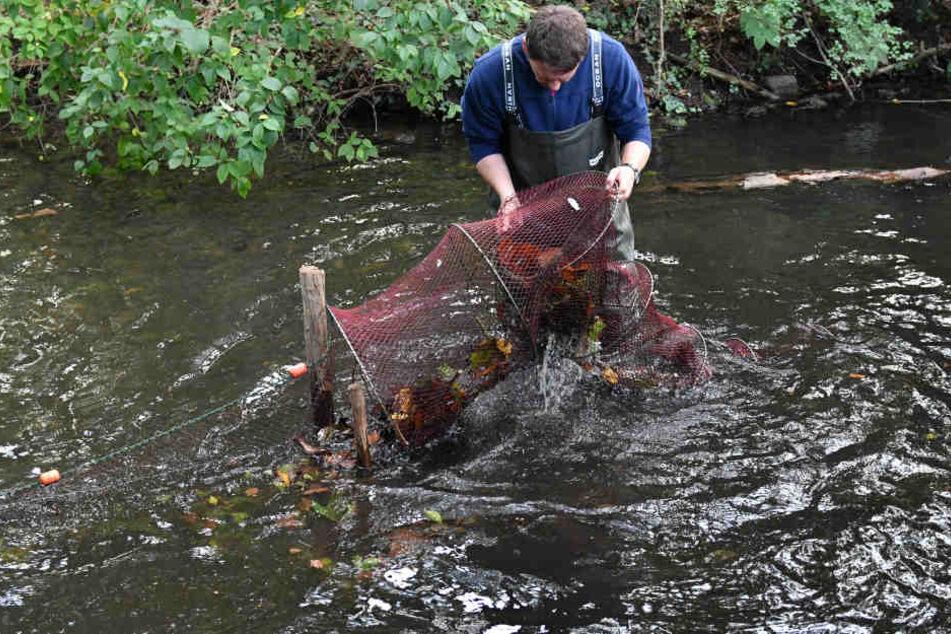 Mit einer sogenannten Reuse holt ein Mitarbeiter des Fischereiamtes die Tiere aus dem Teich.