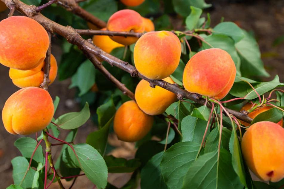 Feinkostladen warnt vor tödlichen Aprikosen. (Symbolbild)