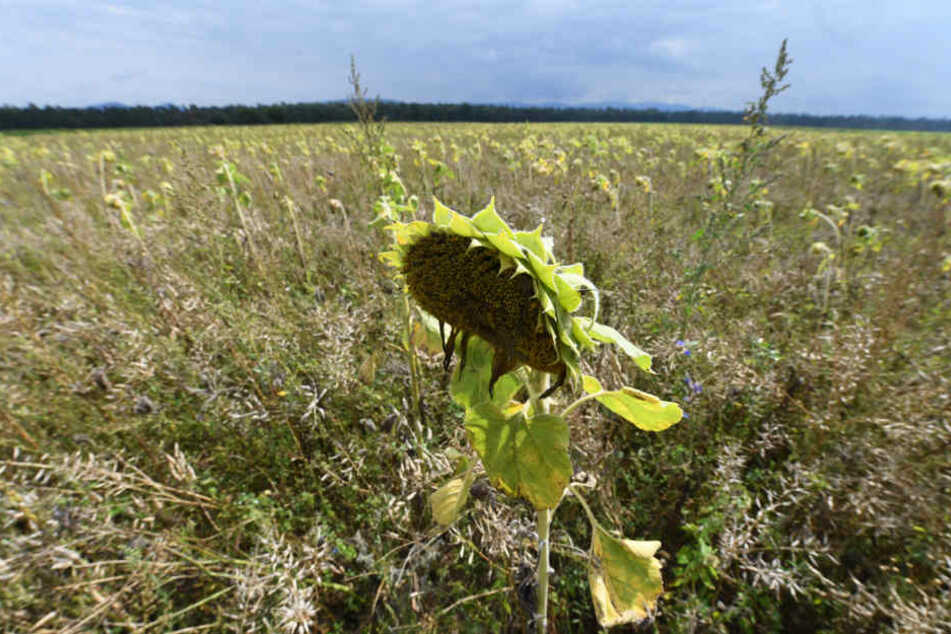 Eine der verseuchten Ackerflächen im Kreis Rastatt. Sie wurde zu eine Bienenweide umfunktioniert. (Archivbild)