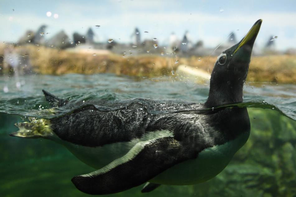 Ein Eselspinguin schwimmt durch seine Anlage im Frankfurter Zoo.