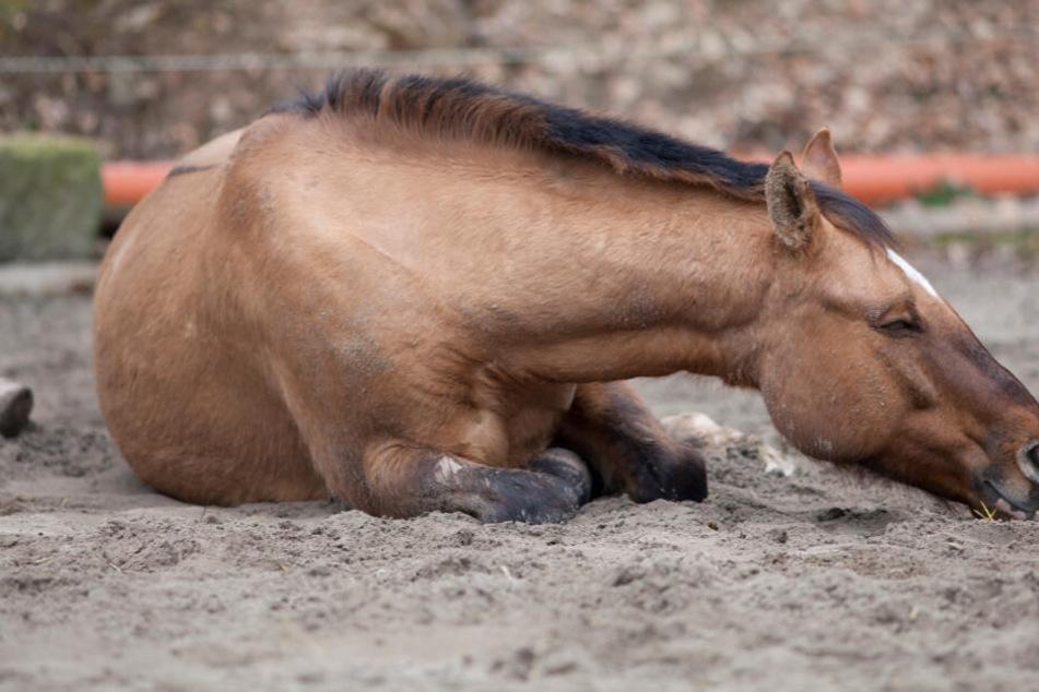 Pferde-Massaker: Mindestens 15 Tiere grausam erschossen