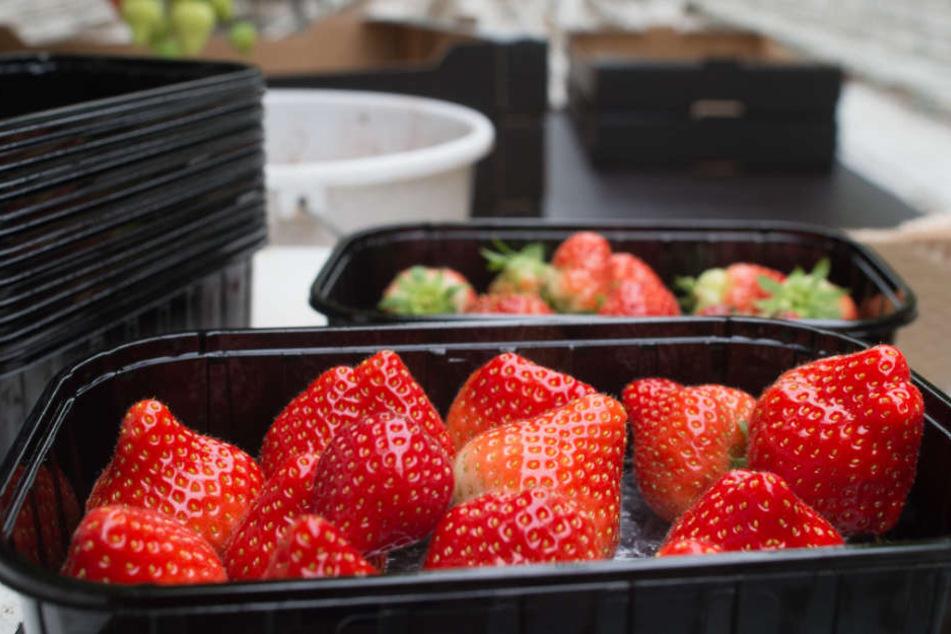 Wer das süße Obst liebt, sollte jetzt noch schnell Erdbeeren pflücken gehen. Die Ernte fällt dieses Jahr allerdings mager aus.