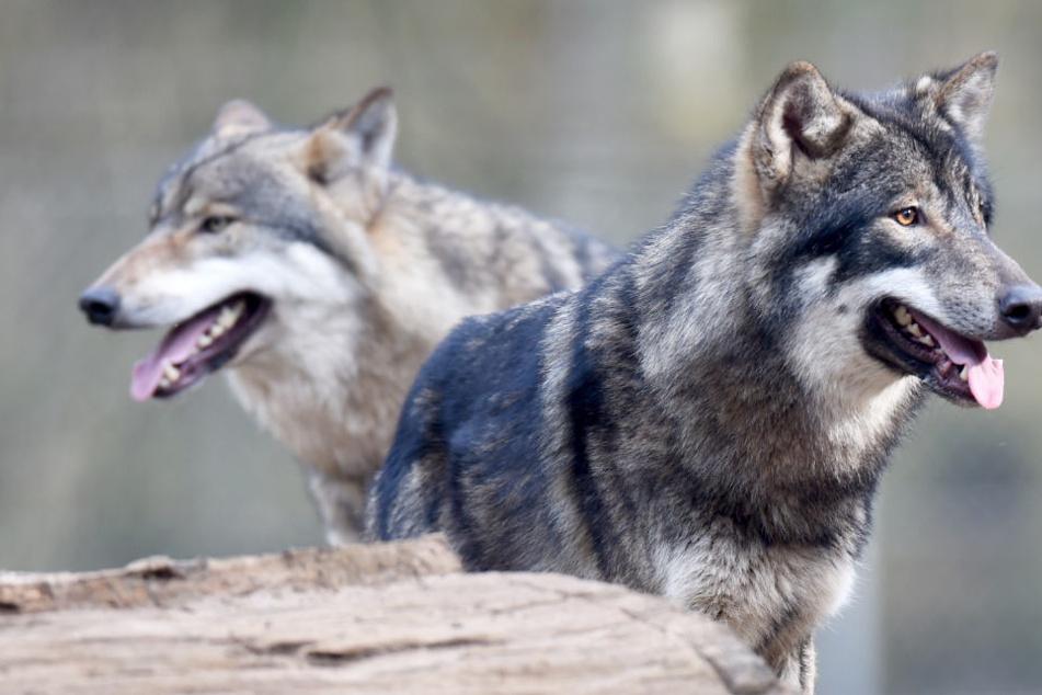Wölfe haben eine natürliche Scheu vor Menschen. Deswegen soll Füttern verboten werden (Symbolbild).