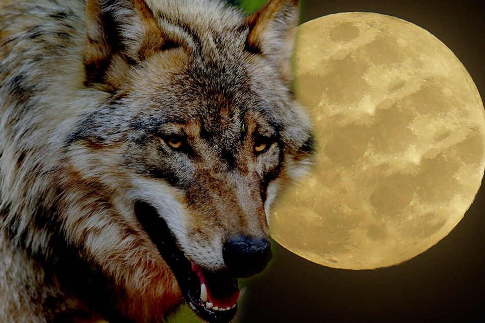 Heute: Gigantischer Wolfsmond am Nachthimmel!