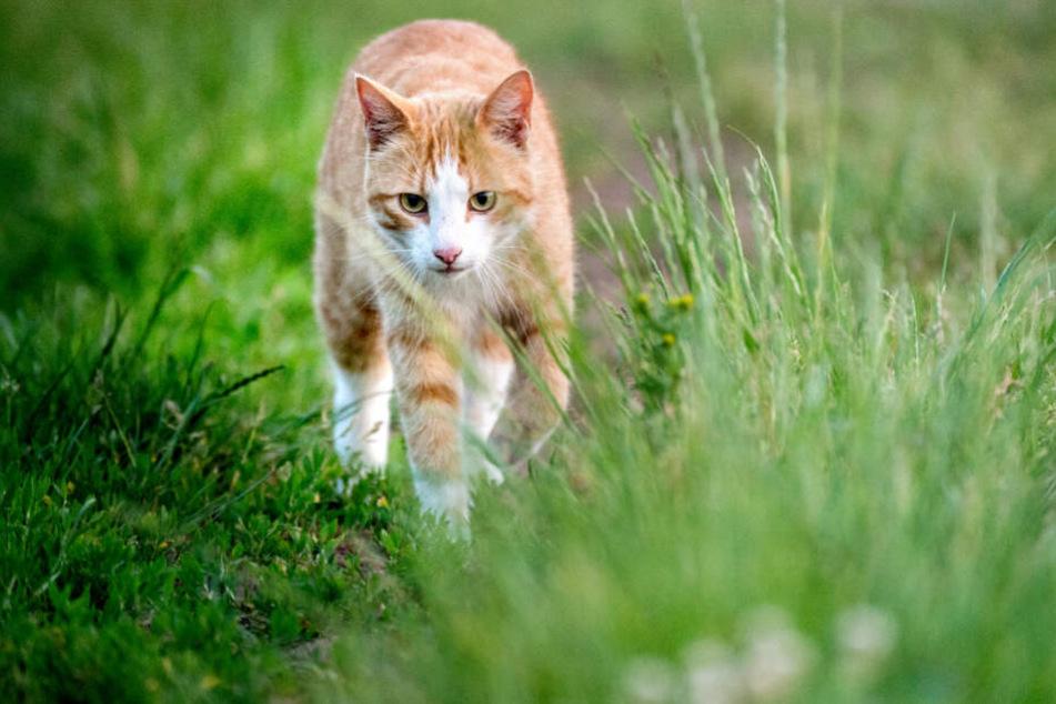 Eine Katze streicht durch das Gras.