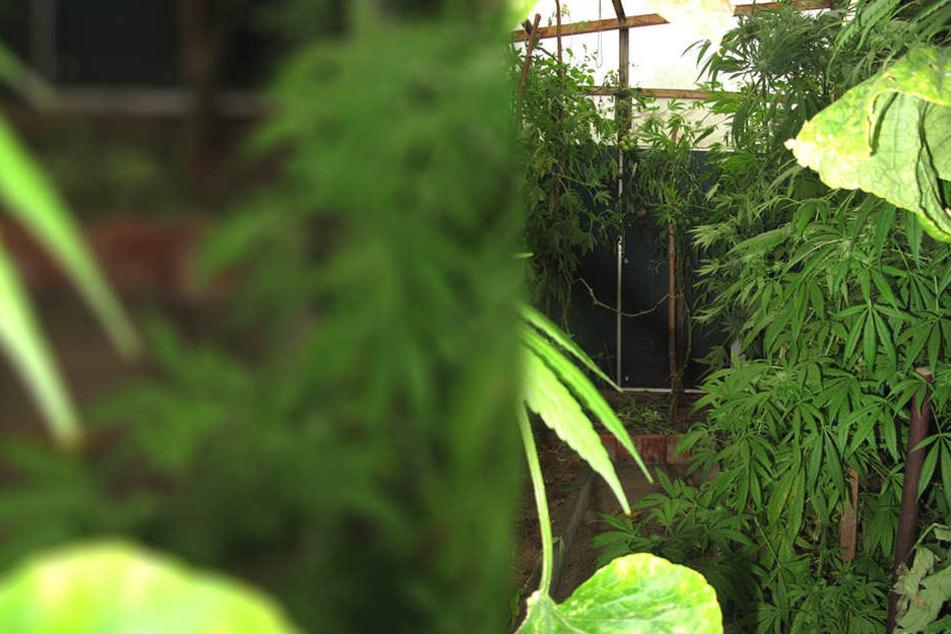 Polizei ermittelt wegen Einbruch und stößt auf Hanfplantage