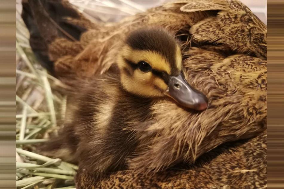 """Die kleine Ente wohnt im Hühnerstall und wird dort von seiner Hennen """"gepflegt""""."""