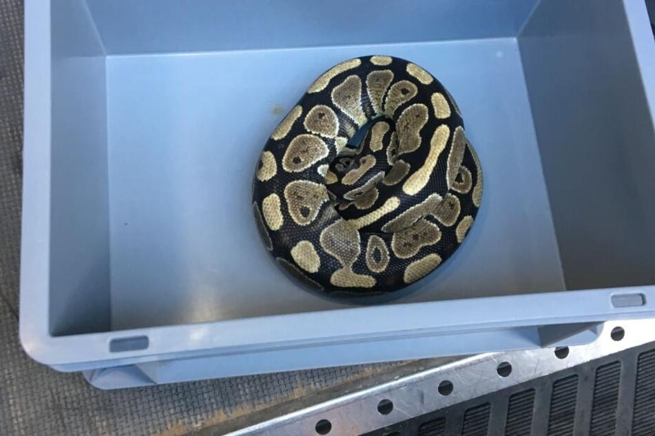 Die Schlange wurde von Experten eingefangen.