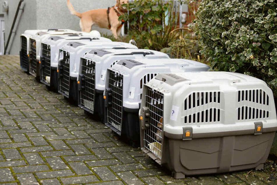 Sieben Labor-Hunde kurz nach Abholung im Labor. Wenig später waren sie bei ihren neuen Familien.