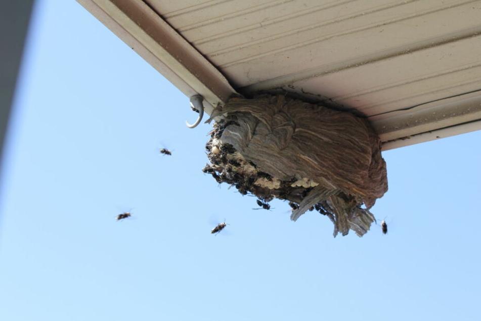 Die Hornissen fliegen in ihr Nest. Sie bilden einjährige Staaten.
