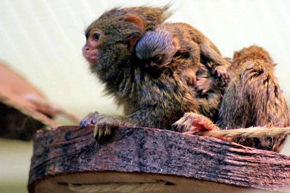 Affenliebe: Zwergseiden-Mama und -papa sind erst seit einem Jahr zusammen. Mit Erfolg: Zwei Baby-Äffchen kamen in Chemnitz zur Welt.