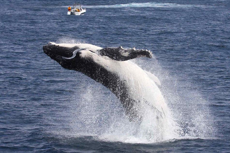 Mit seinem Sprung hat ein Buckelwal vor Alaska einigen Touristen einen gehörigen Schrecken versetzt. (Symbolbild)