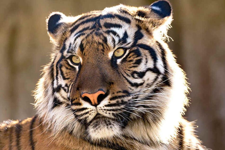 Die Dorfbewohner fordern, dass der Tiger gefangen wird.