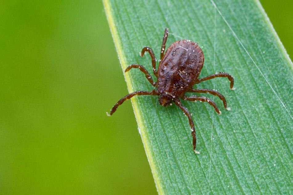 Zecken-Alarm im Nordosten! Experten warnen vor gefährlichen Viren