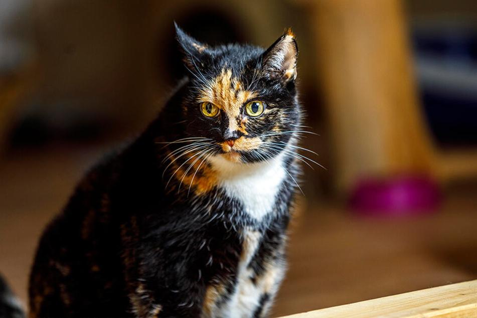 Katze Minka sucht ein ruhiges Zuhause.