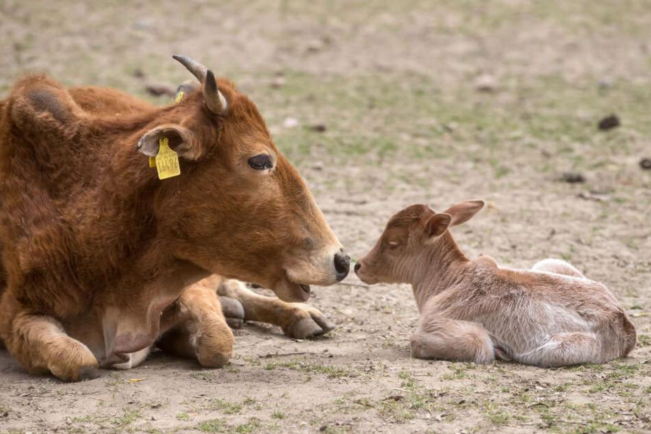 Das kleine Zebu-Kalb schmust mit seiner Mama.