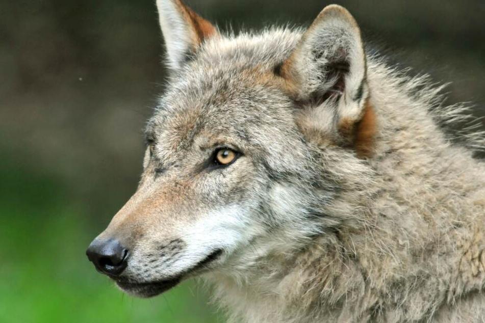 Polizei findet toten Wolf auf der Autobahn