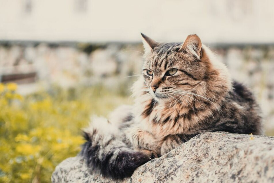 Several Maine Coon cats are represented in the Guinness Book of World Records.